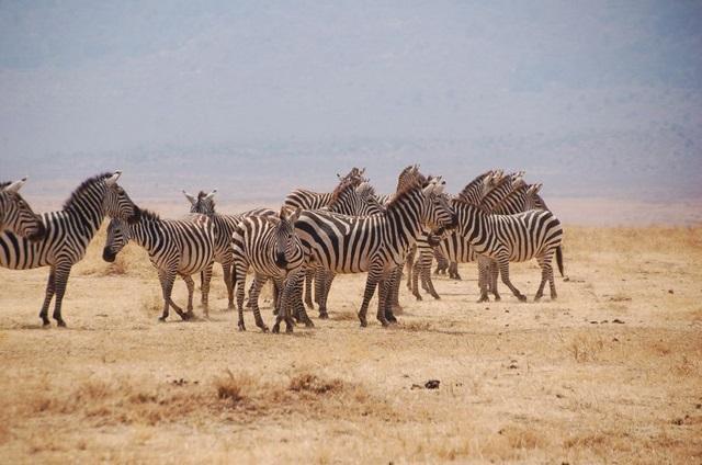 De entre los grandes safaris fotográficos que se hacen hoy día, la búsqueda de animales salvajes en Ngorongoro es uno de los más excepcionales.