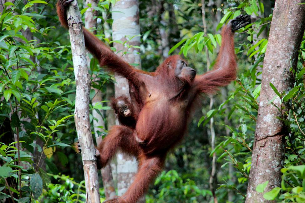 La recompensa nos espera a final con el encuentro con juguetones orangutanes